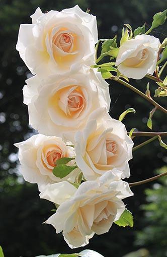 Balcony roses