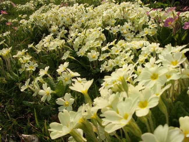 Sue's primroses