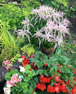 astilbe and begonias