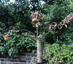 Dead apple tree