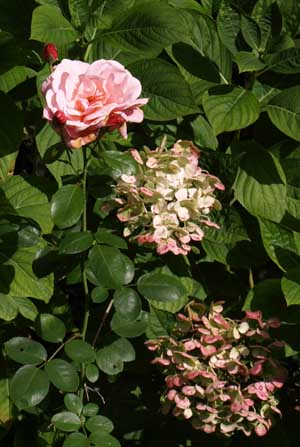 Rose and hydrangea