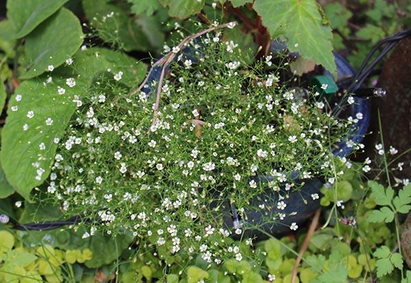 mini gypsophila