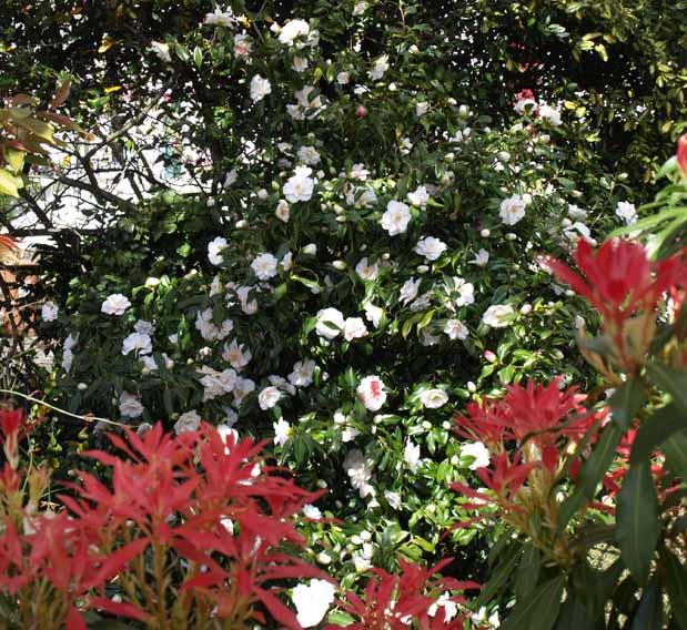 Pieris and camellia