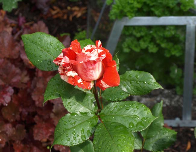 Red and white striped rose